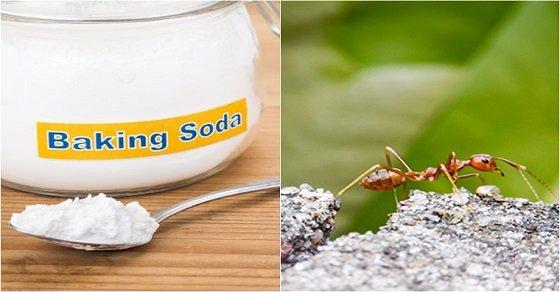 Dùng Baking soda diệt kiến