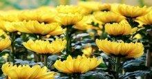 Cách cắm hoa cúc vàng để bàn thờ ngày tết đẹp nhất