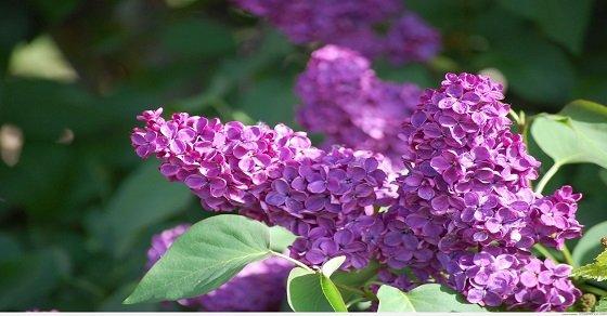 Tử đinh hương – loài hoa của tình đầu thơ mộng