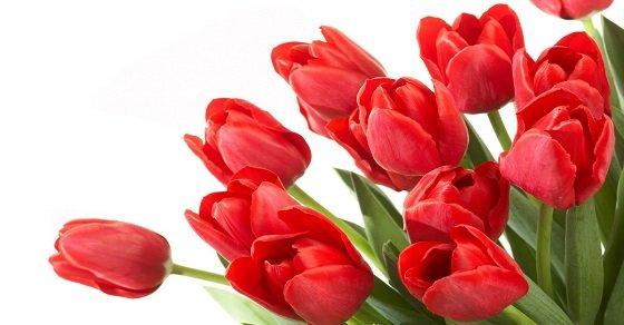 Tulip là loài hoa tượng trưng cho tình yêu hoàn hảo