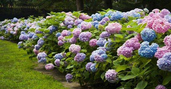 Cẩm tú cầu – loài hoa của lòng biết ơn