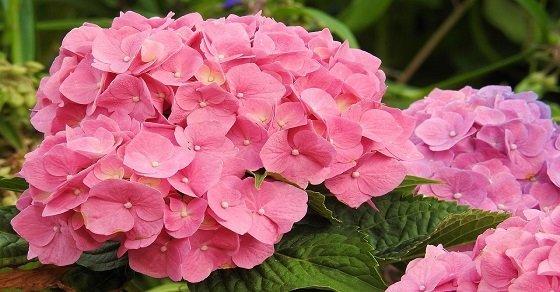 Hoa cẩm tú cầu hồng nhẹ nhàng cho ngày 8 - 3
