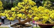 Cách chăm sóc mai vàng ra hoa đúng tết đẹp và tươi lâu