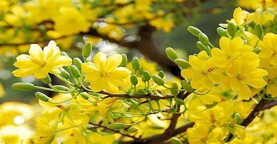 Mai vàng nở rộ đón xuân tưng bừng