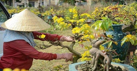 Cách trồng và chăm sóc cây mai vàng