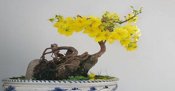 Cách chăm sóc hoa mai vàng ở miền Bắc