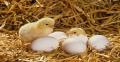 Cách chăm sóc gà con mới nở nhanh lớn hiệu quả