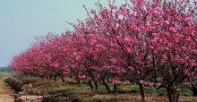 Hoa đào ngày tết - Thuyết minh về hoa đào ngày tết hay nhất