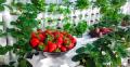 Cách trồng rau thủy canh trong thùng xốp tại nhà