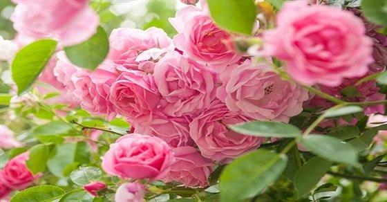 Hướng dẫn cách trồng và chăm sóc hoa hồng leo