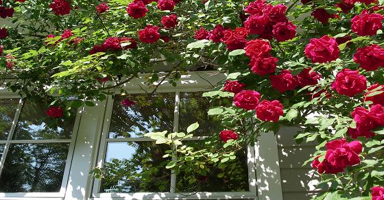 Cách trồng và chăm sóc hoa hồng leo pháp