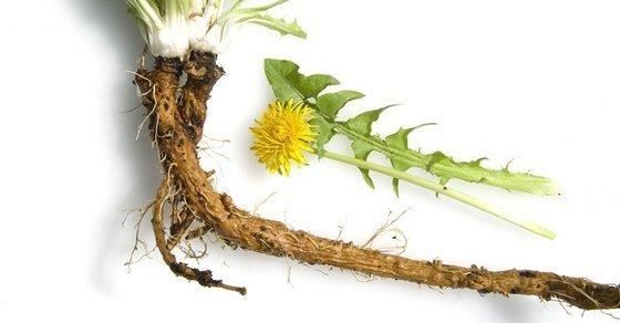 Rễ cây bồ công anh chữa bệnh