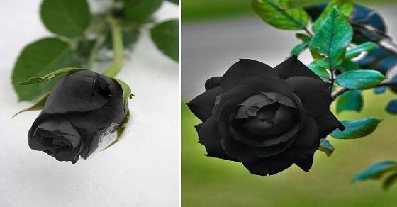 Hoa hồng đen gắn với tình yêu và nước mắt