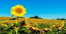 Những câu nói hay, ý nghĩa về loài hoa hướng dương