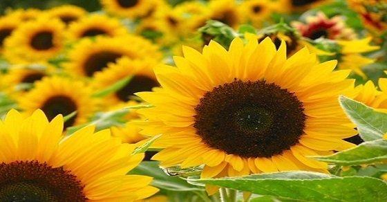 Câu nói hay về hoa hướng dương